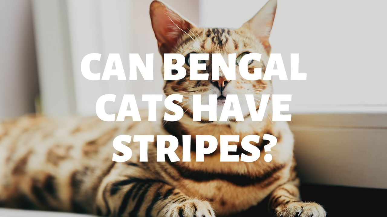 Can Bengal Cats Have Stripes?