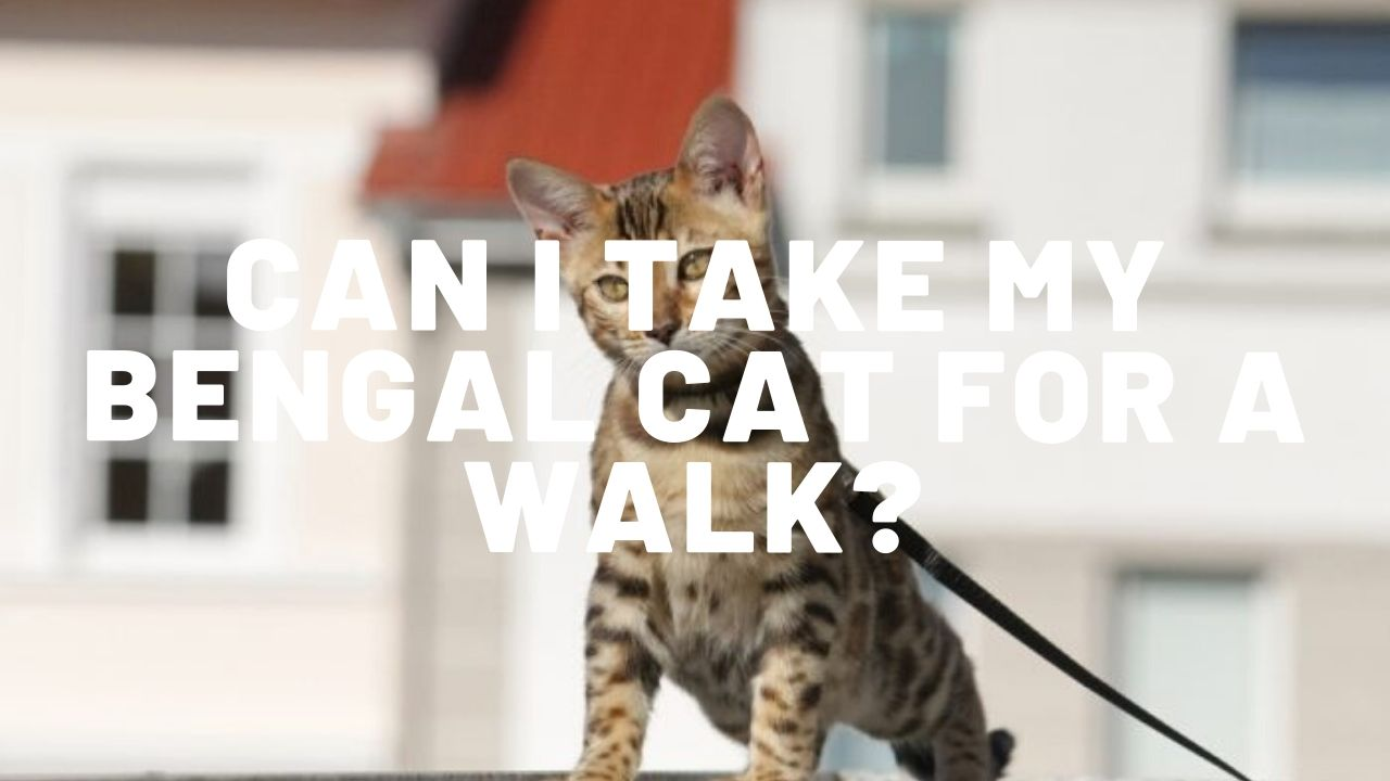 Can I Take My Bengal Cat For A Walk?