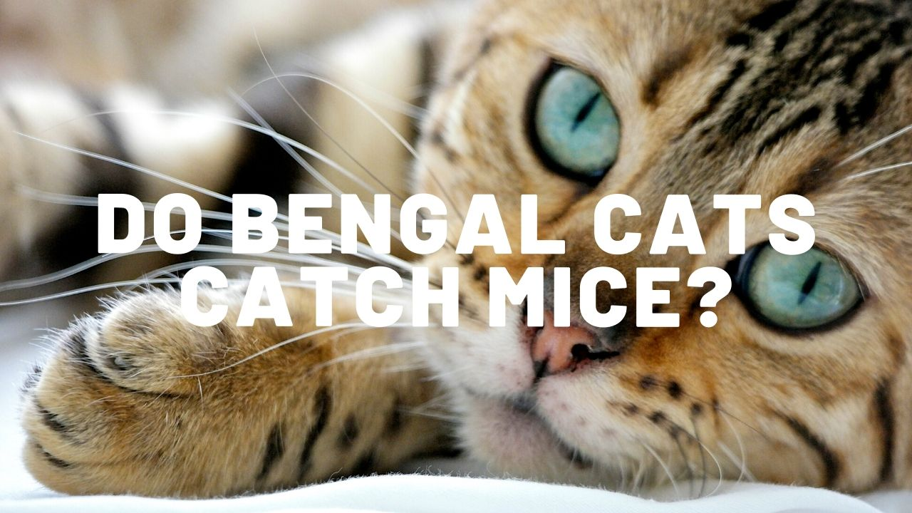 Do Bengal Cats Catch Mice?
