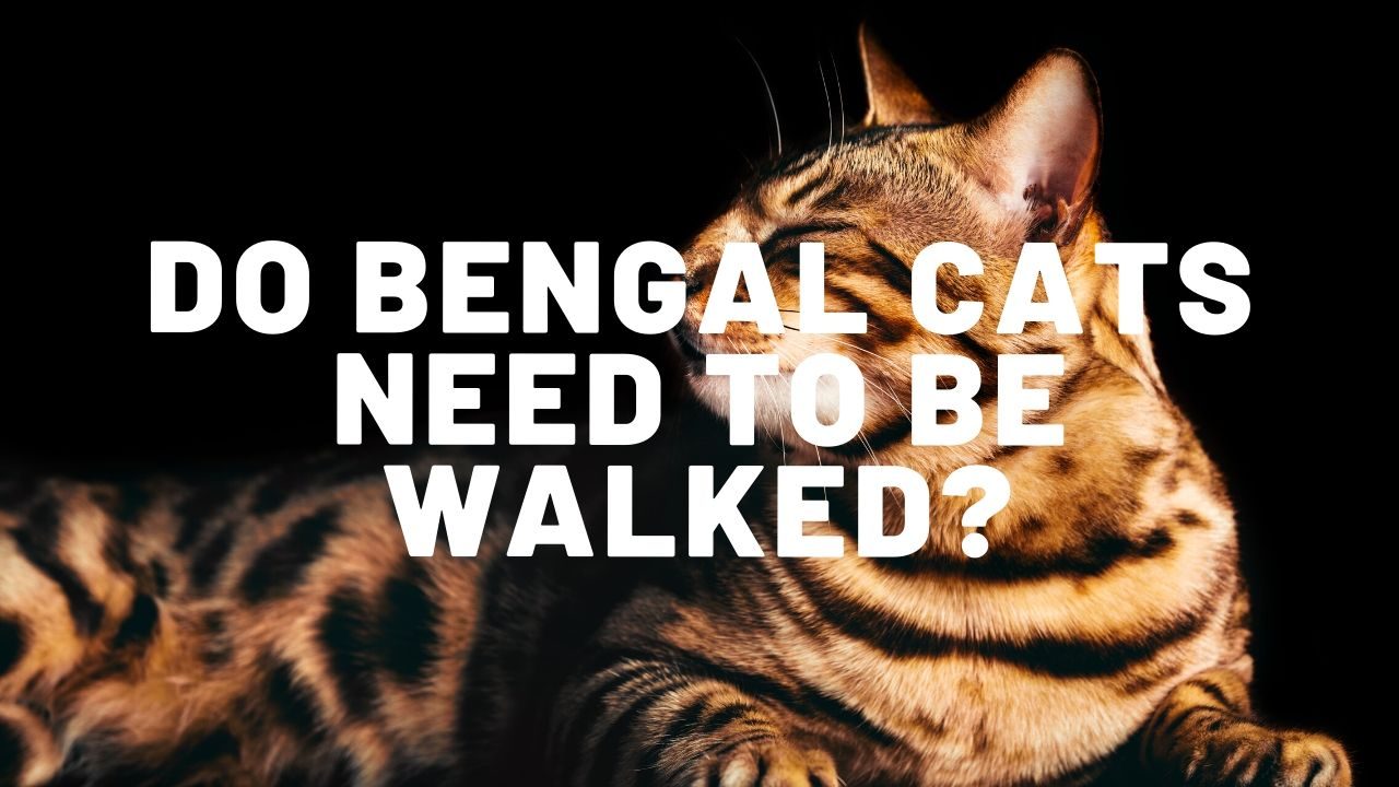 Do Bengal Cats Need To Be Walked?