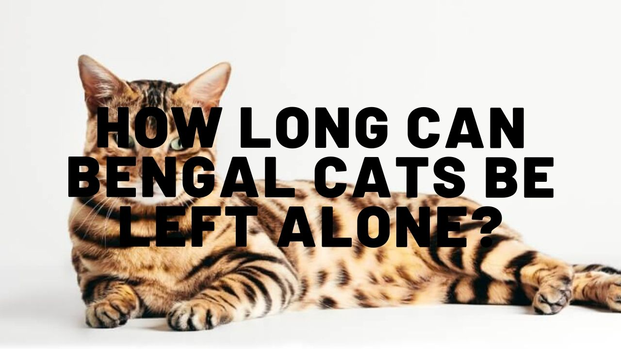 How Long Can Bengal Cats Be Left Alone?