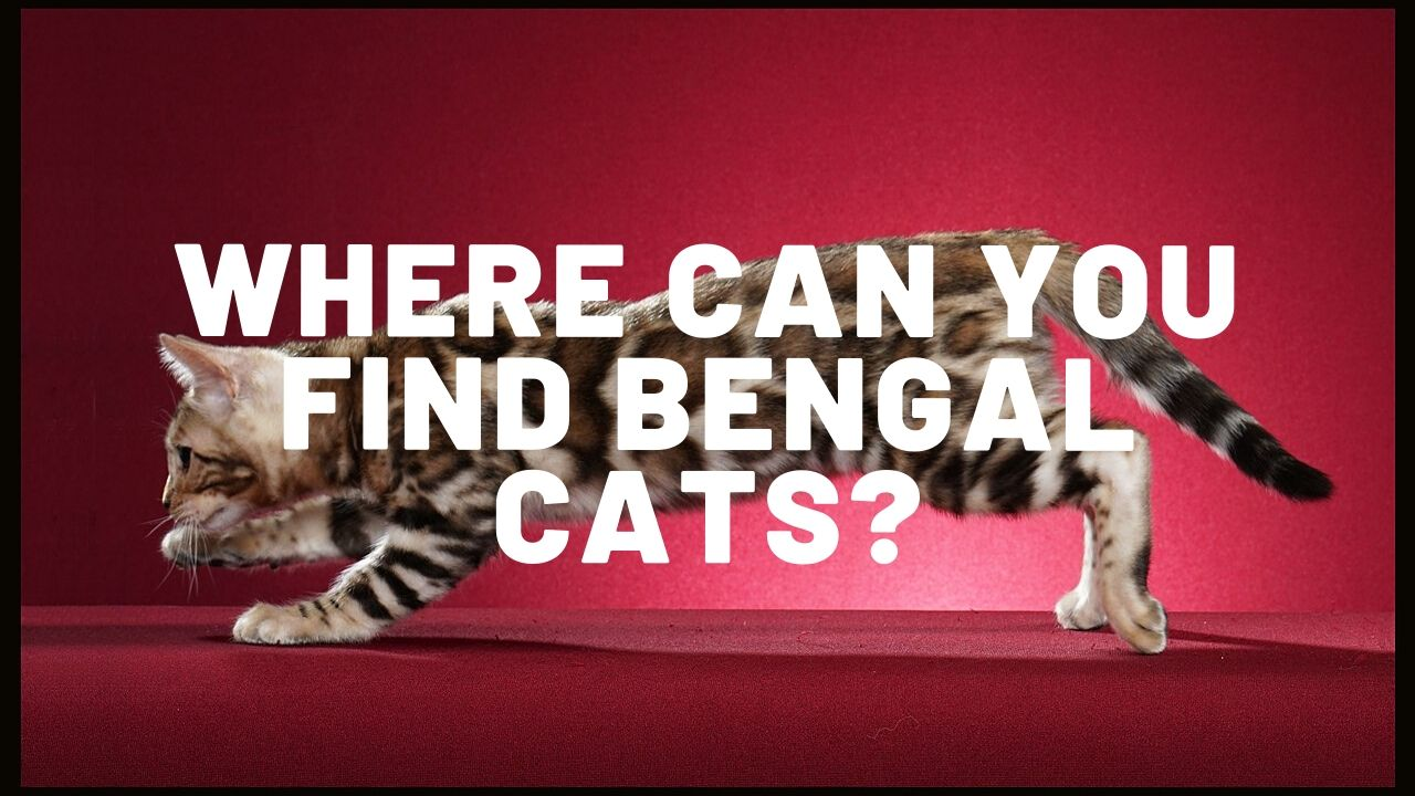 Where Can You Find Bengal Cats?