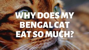 Why Does My Bengal Cat Eat So Much?