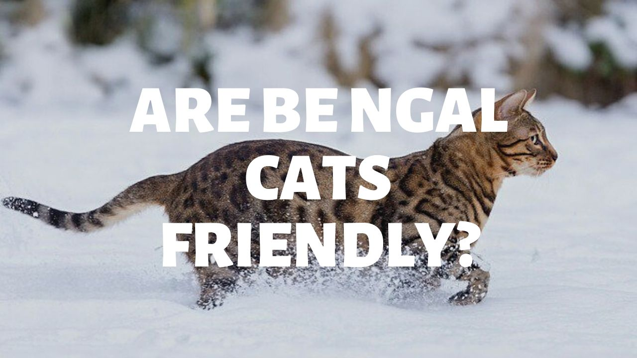 Are Bengal Cats Friendly?