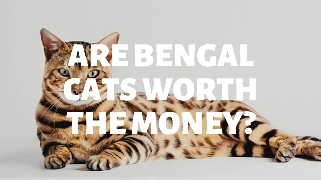Are Bengal Cats Worth The Money?
