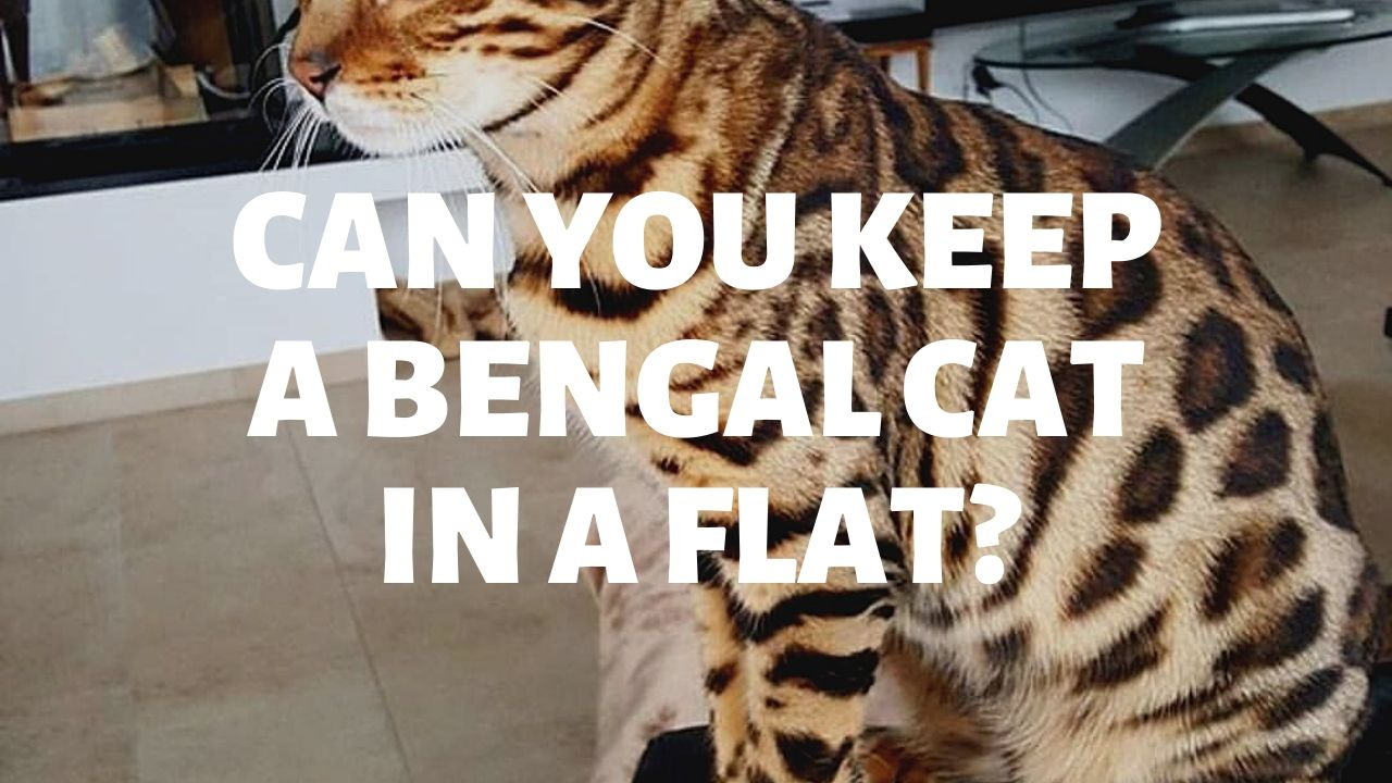 Can You Keep A Bengal Cat In A Flat?