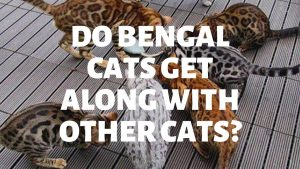 Do Bengal Cats Get Along With Other Cats?