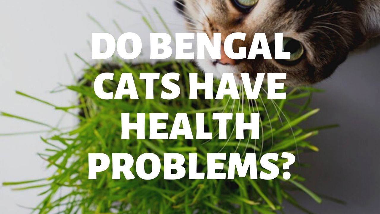 Do Bengal Cats Have Health Problems