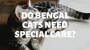 Do Bengal Cats Need Special Care