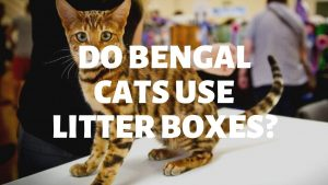 Do Bengal Cats Use A Litter Box?