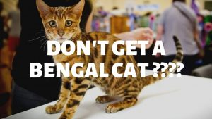 Why Do People Say 'Don't Get A Bengal Cat'?
