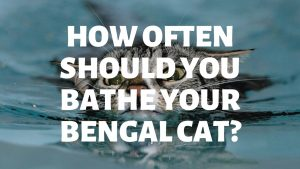 How Often Should You Bathe Your Bengal Cat?