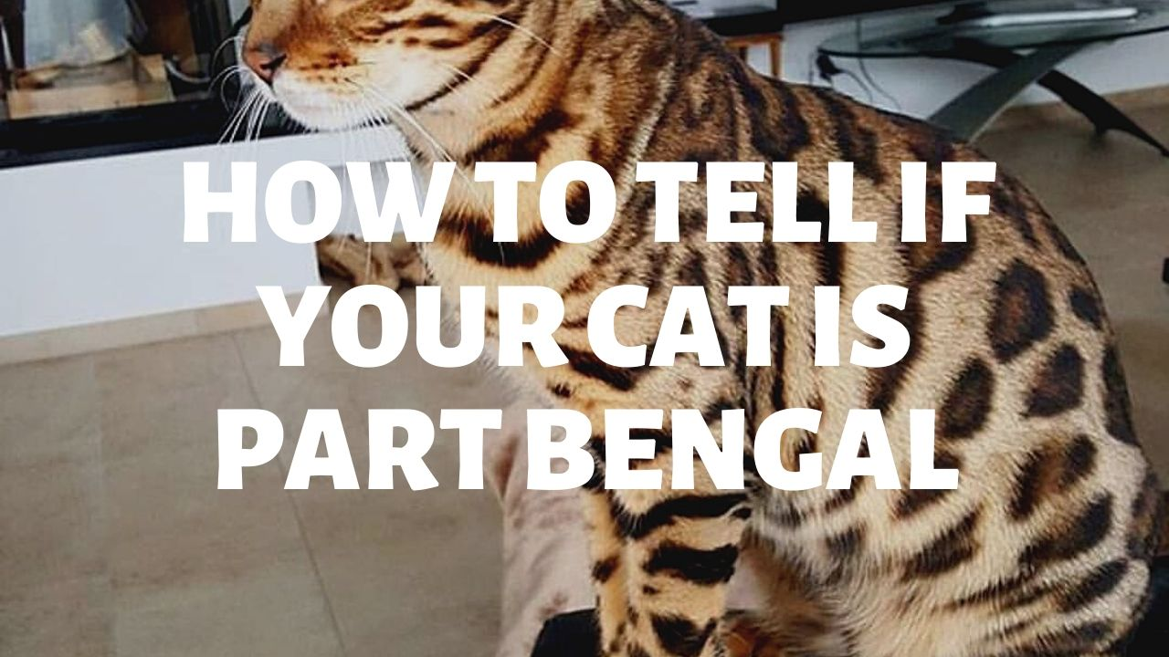 How To Tell If Your Cat Is Part Bengal