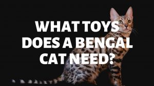 What Toys Does A Bengal Cat Need?