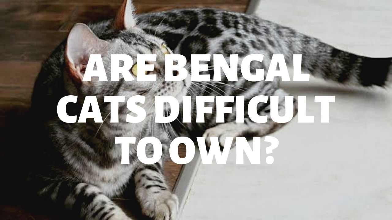 Are Bengal Cats Difficult To Own?