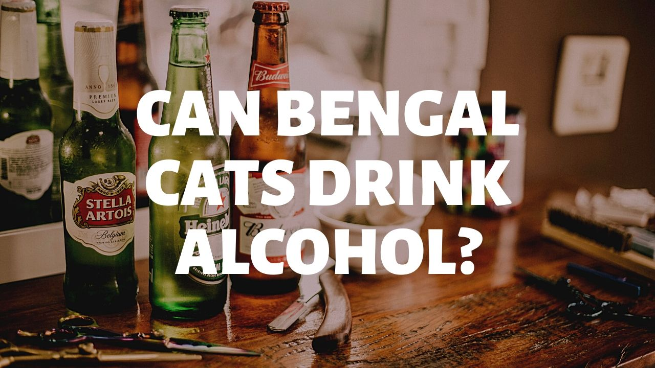 Can Bengal Cats Drink Alcohol?