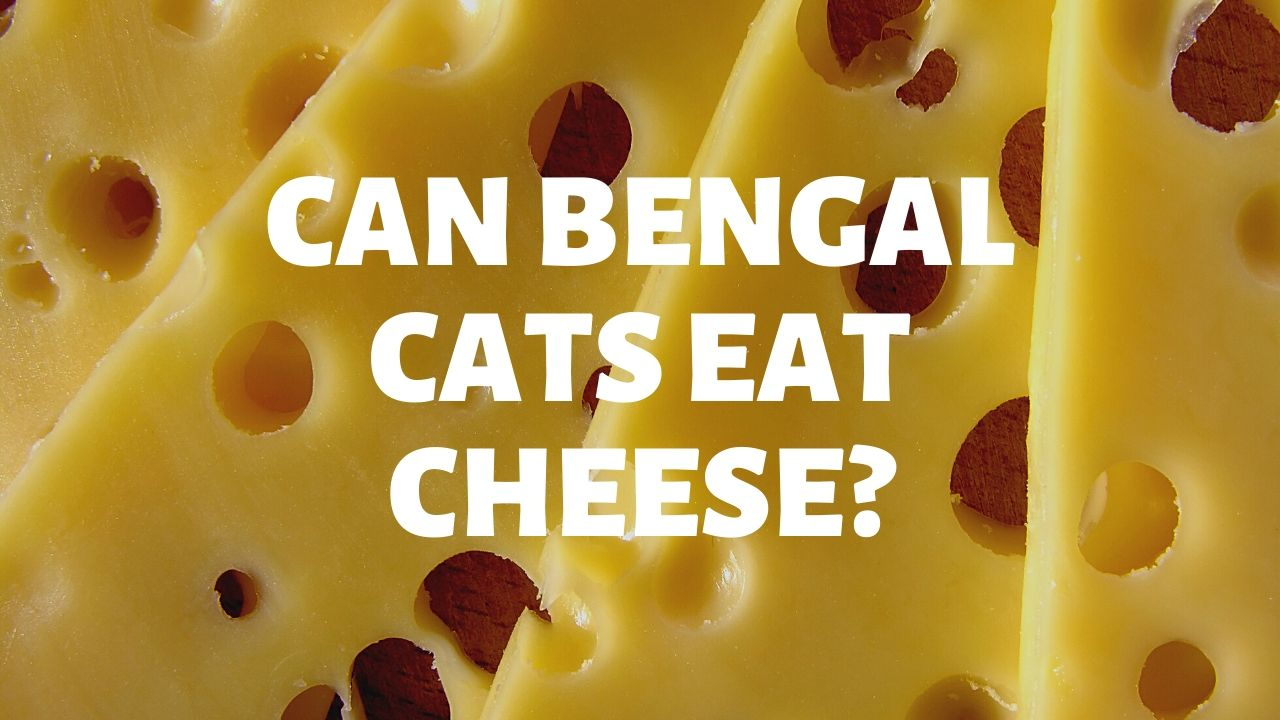 Can Bengal Cats Eat Cheese?