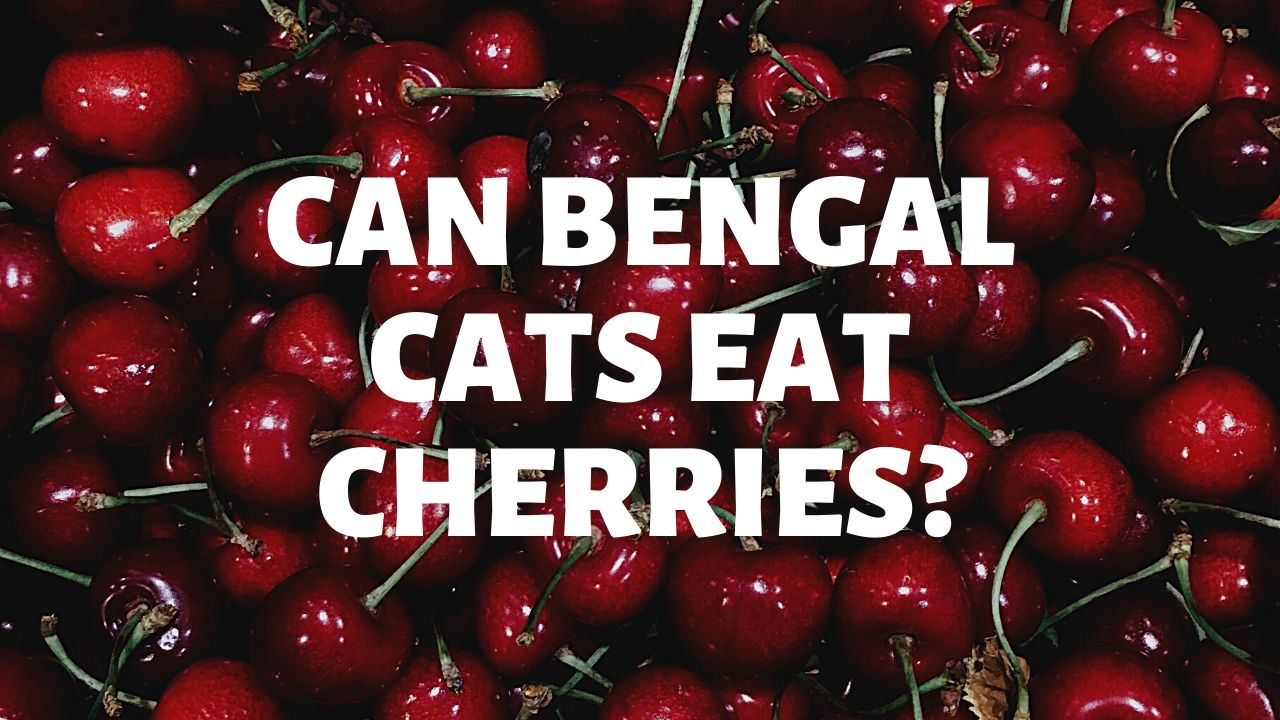 Can Bengal Cats Eat Cherries?