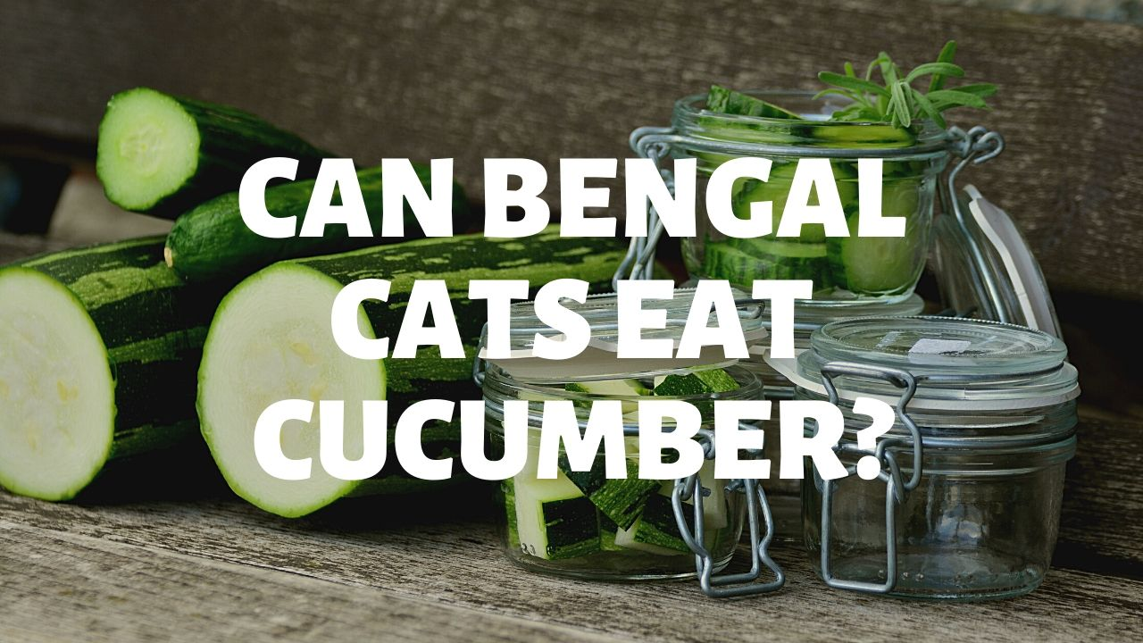 Can Bengal Cats Eat Cucumber?