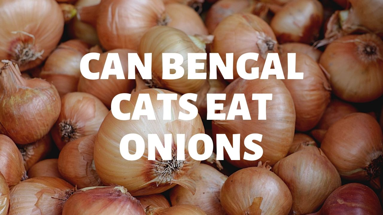Can Bengal Cats Eat Onions?