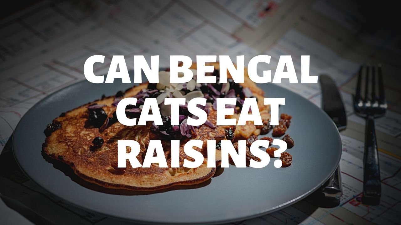 Can Bengal Cats Eat Raisins?