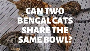Can Two (Or More) Bengal Cats Share The Same Bowl?