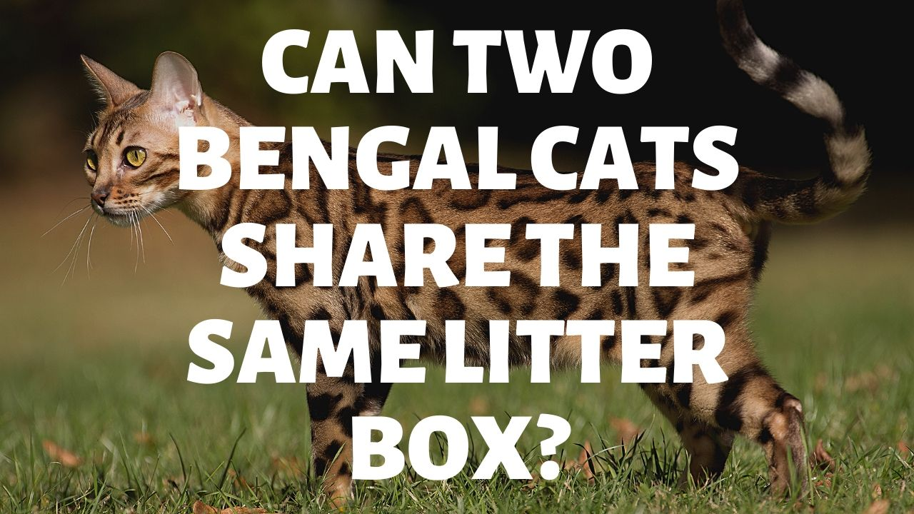 Can Two Bengal Cats Share The Same Litter Box?