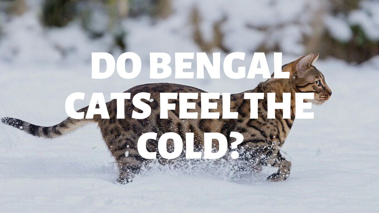 Do Bengal Cats Feel The Cold?