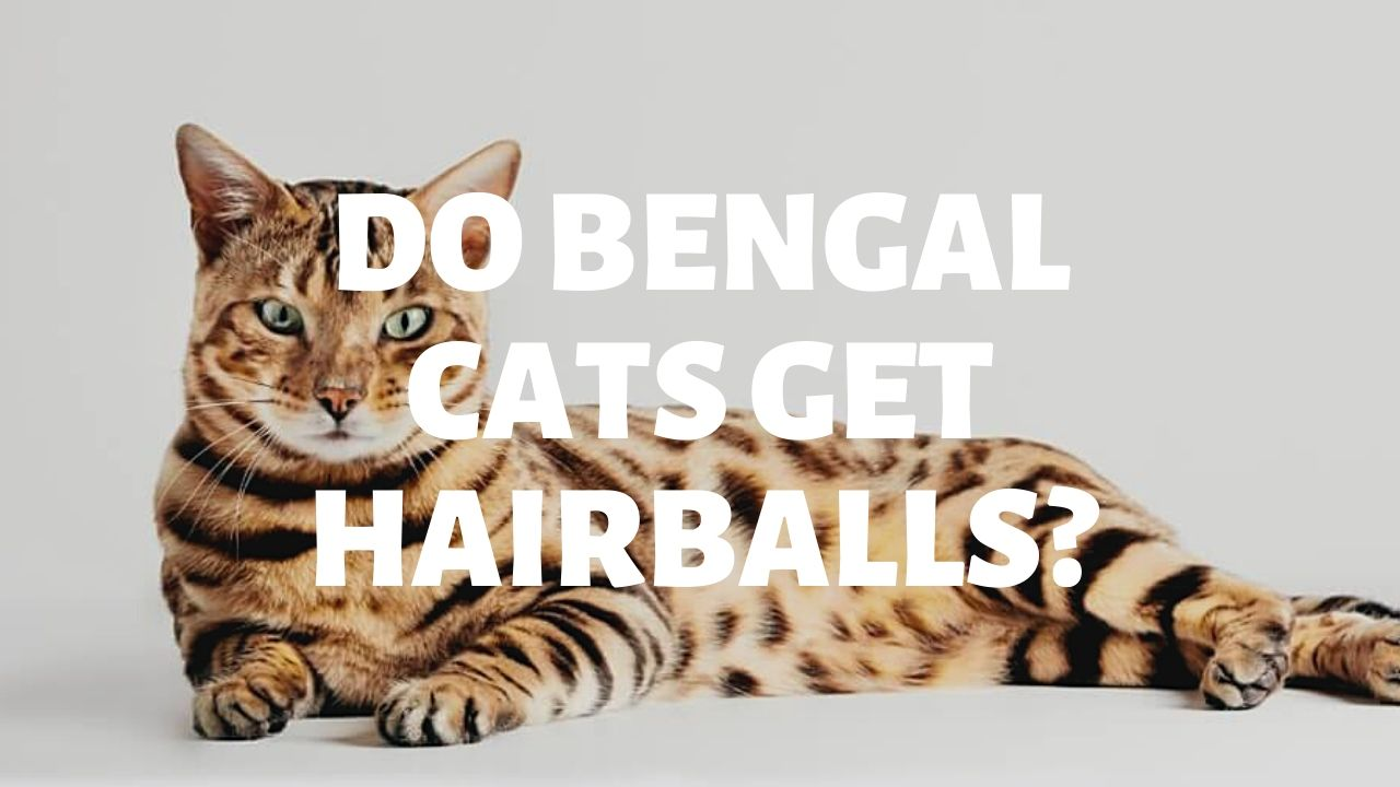 Do Bengal Cats Get Hairballs?