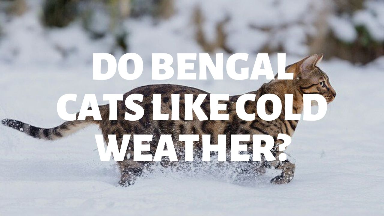 Do Bengal Cats Like Cold Weather?