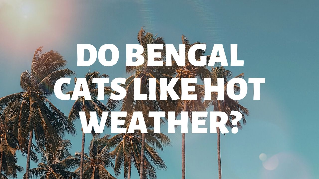 Do Bengal Cats Like Hot Weather?