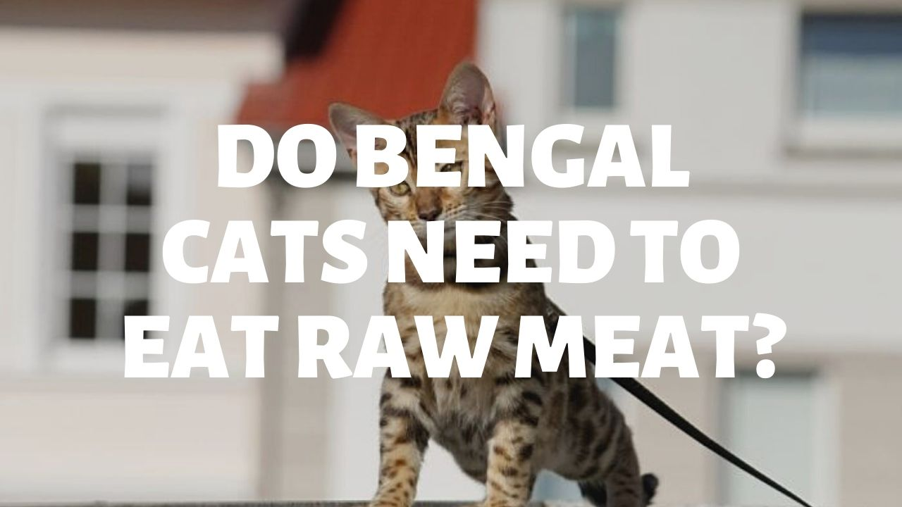 Do Bengal Cats Need To Eat Raw Meat?