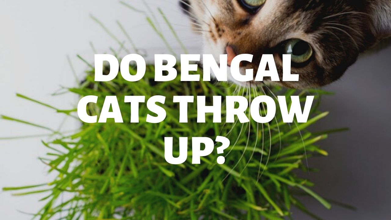 Do Bengal Cats Throw Up?