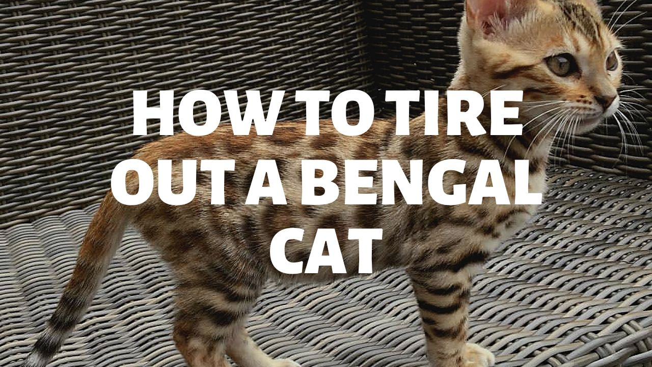How To Tire Out A Bengal Cat