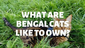 What Are Bengal Cats Like To Own?