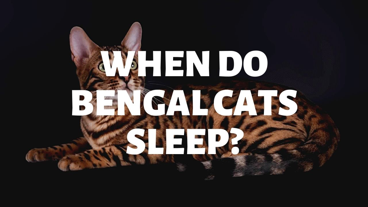 When Do Bengal Cats Sleep?