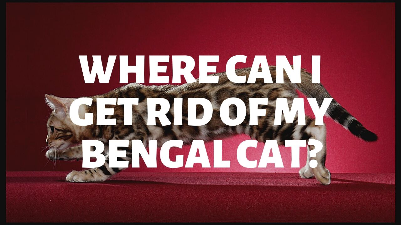 Where Can I Get Rid Of My Bengal Cat?