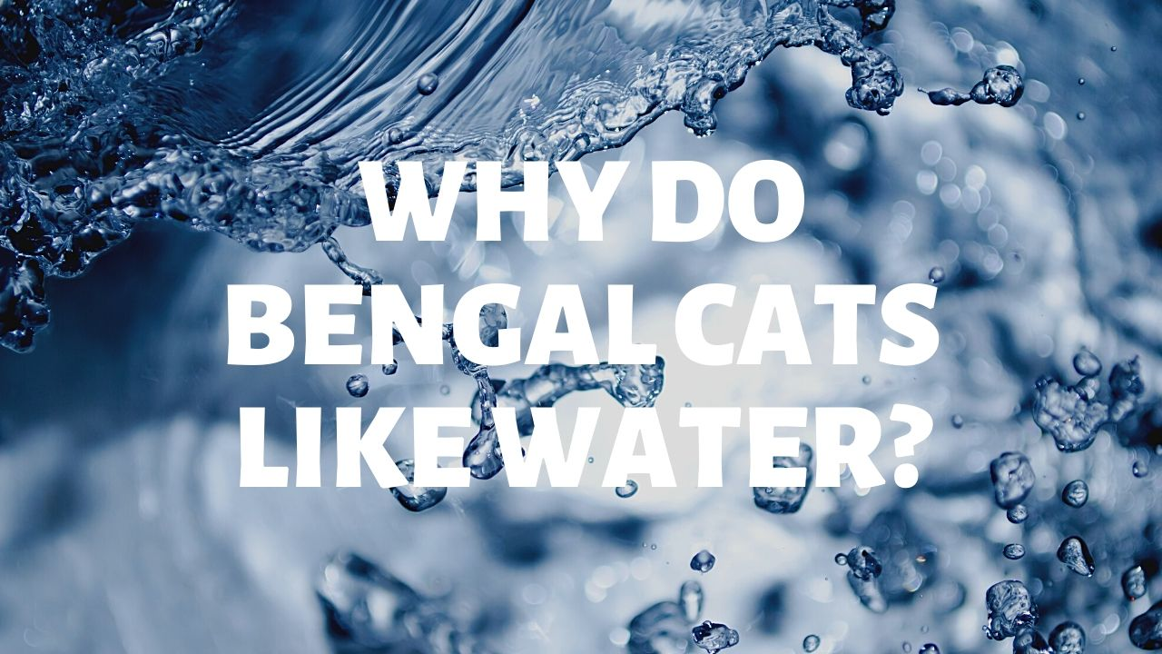 Why Do Bengal Cats Like Water?