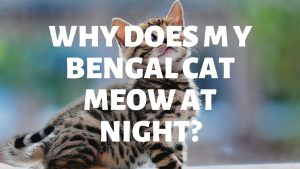 Why Does My Bengal Cat Meow At Night?