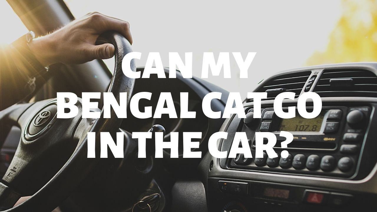 Can My Bengal Cat Go In The Car?