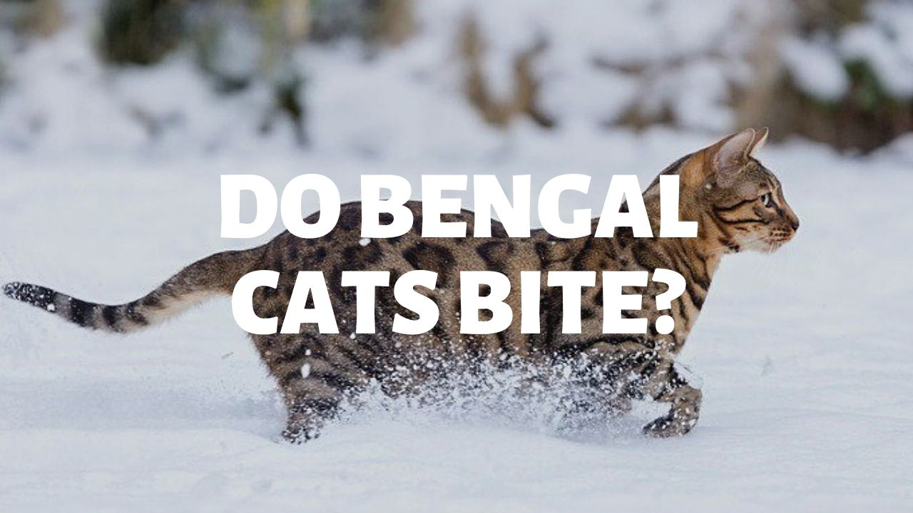 Do Bengal Cats Bite?