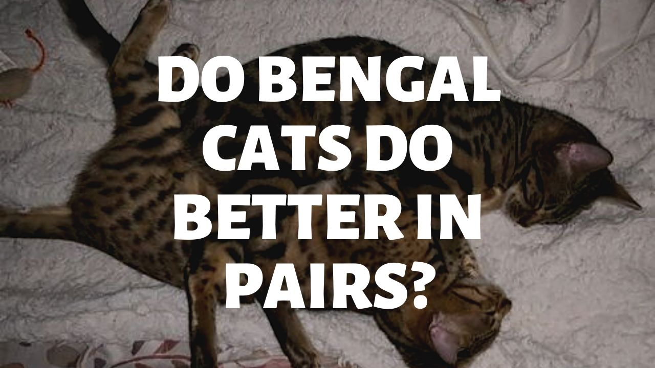 Do Bengal Cats Do Better In Pairs?