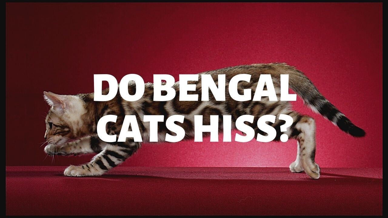 Do Bengal Cats Hiss Authentic Bengal Cats