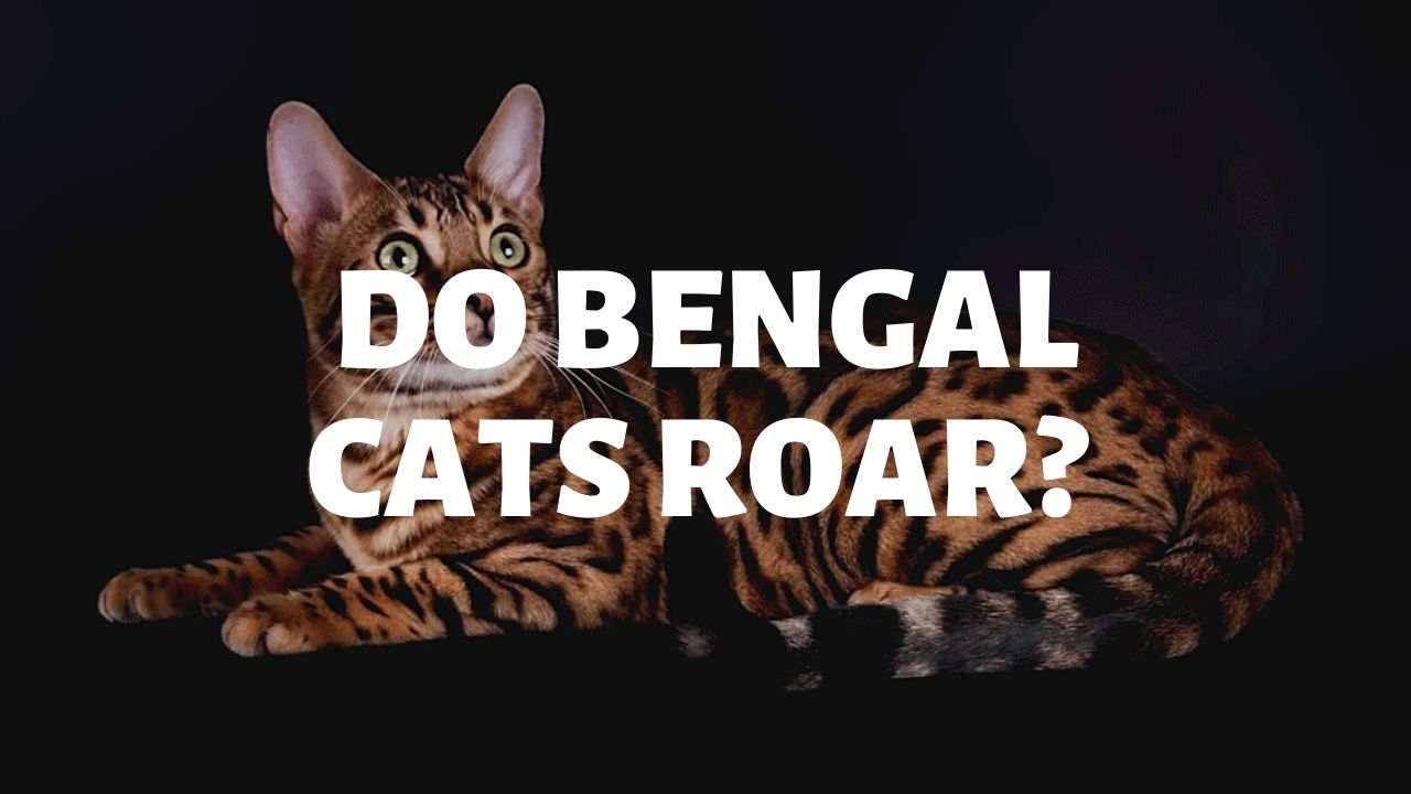 Do Bengal Cats Roar?
