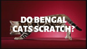Do Bengal Cats Scratch?