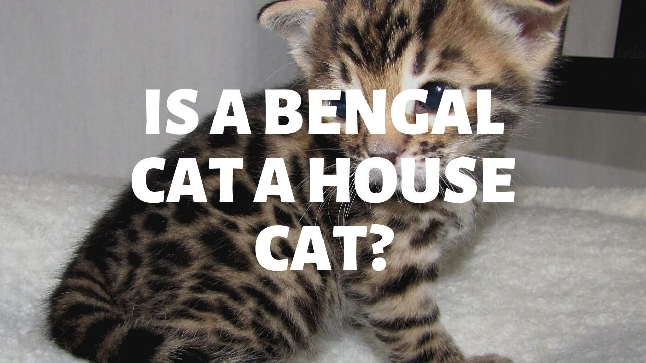 Is A Bengal Cat A House Cat?