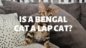 Is A Bengal Cat A Lap Cat?