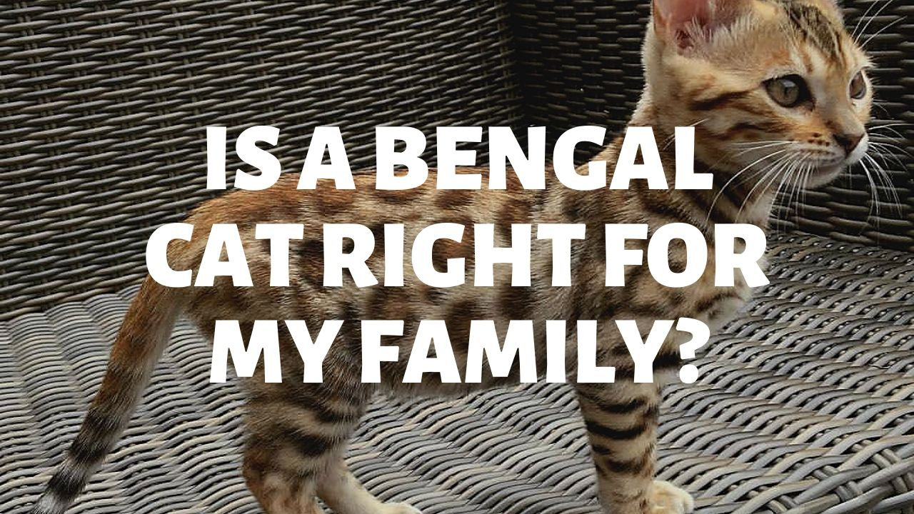 Is A Bengal Cat Right For My Family?