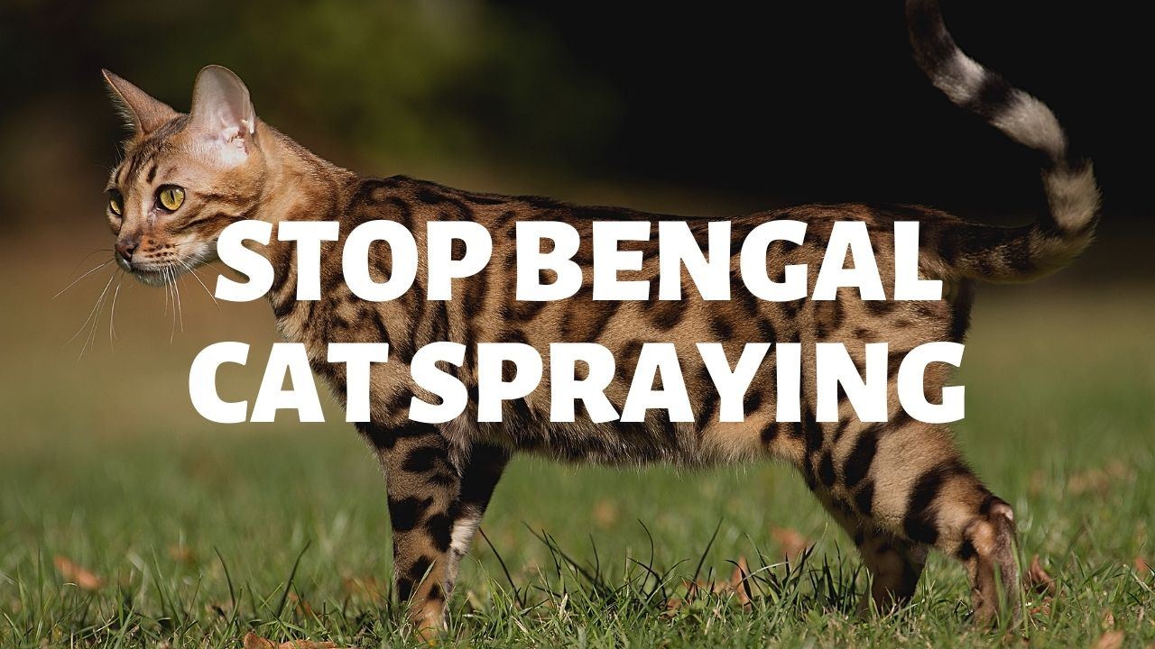 How To Stop Bengal Cat Spraying
