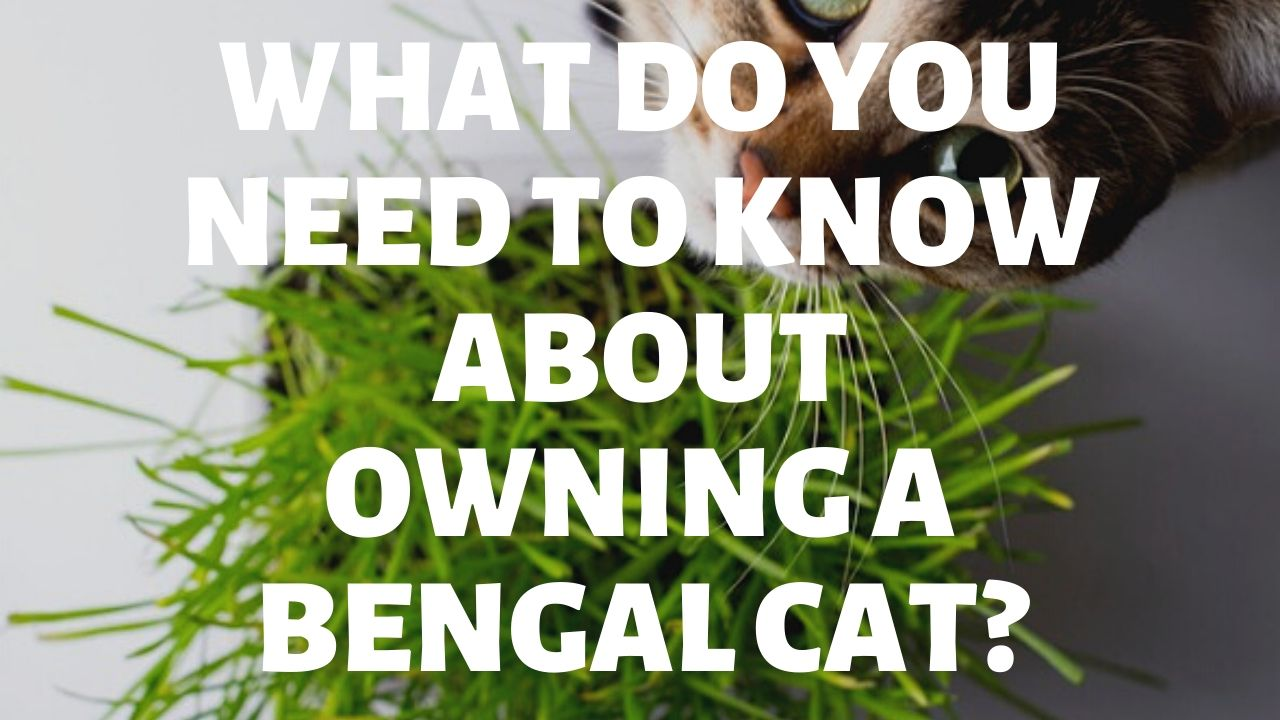 What Do You Need To Know About Owning A Bengal Cat?